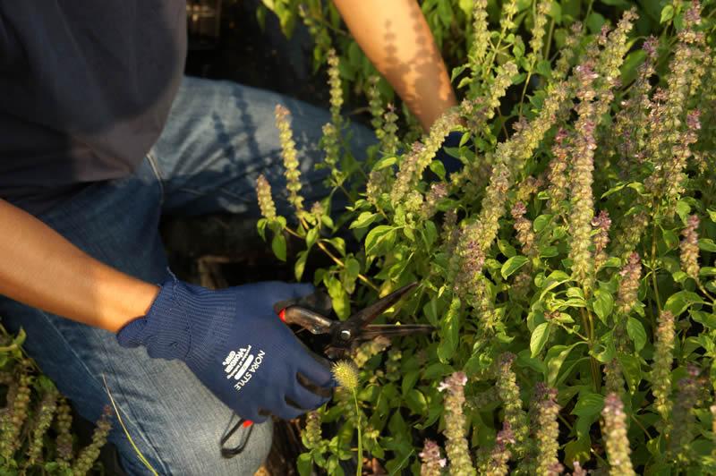 ホーリーバジル茶収穫風景