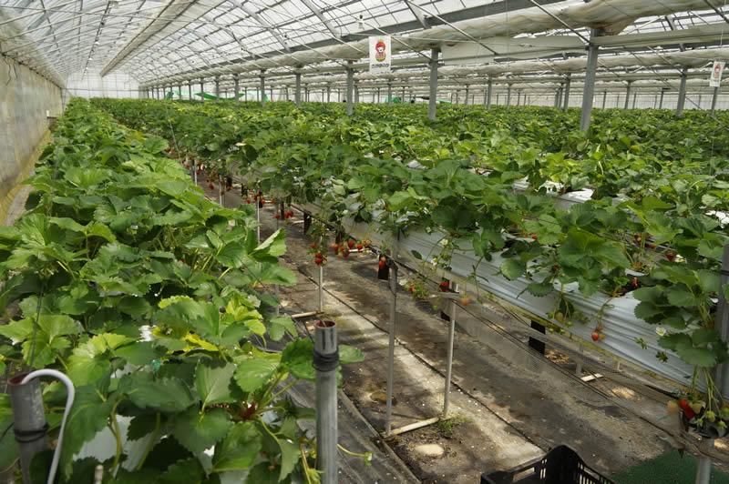 大阪 いずみふれあい農の里 いずみ小川いちご 飯阪保いちご園