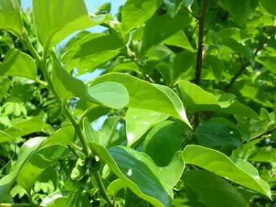 無農薬 柿の葉茶