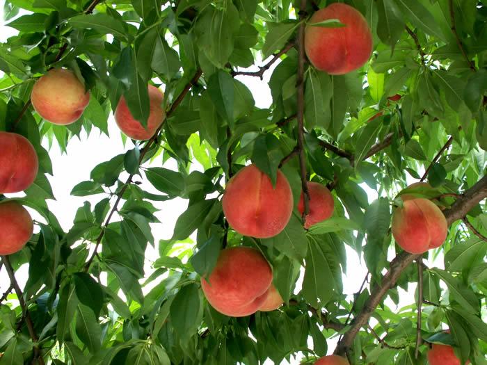 山形伊藤農園の桃