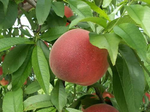 伊藤農園の桃