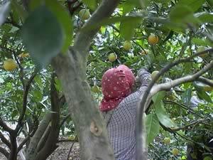 バレンシアオレンジ収穫