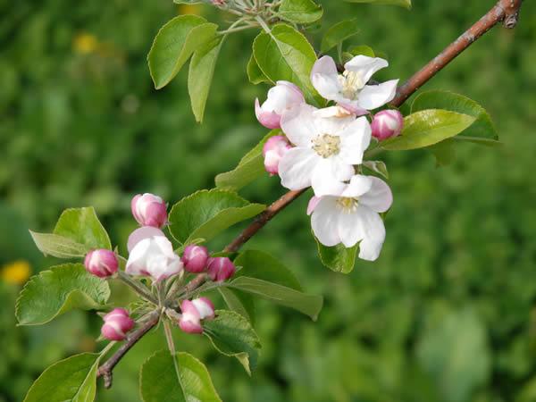 片山りんご園のりんごの花