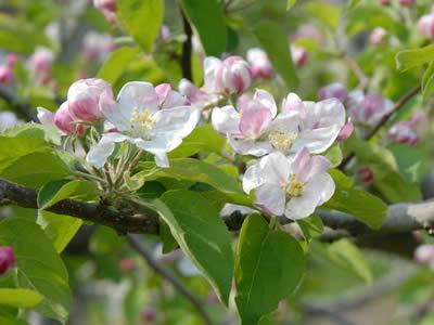 2007年のりんごの花