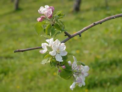 青森のりんごの花