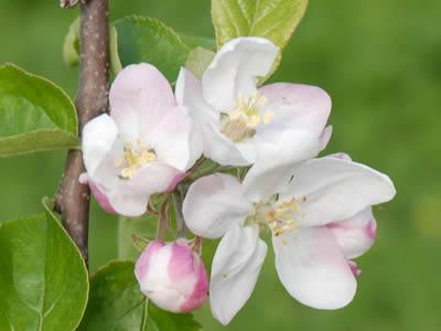 りんごの花のアップ