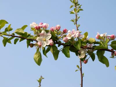 りんごの花と青い空