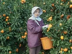 みかん収穫