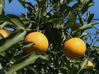 清見オレンジ
