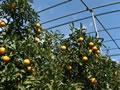 栗山園のネットの中の清見オレンジ
