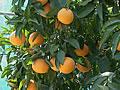 収穫を待つ清見オレンジ