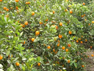 栗山園のバレンシアオレンジ