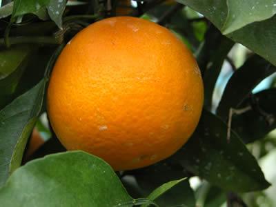 栗山園の清見オレンジ
