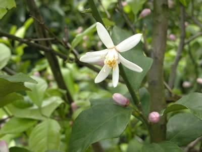 栗山園のレモンの花