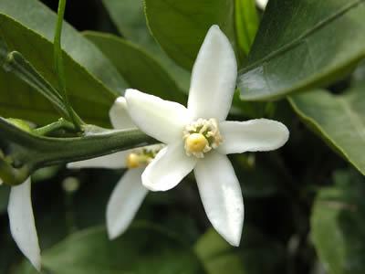 栗山園の温州みかん宮川早生の花