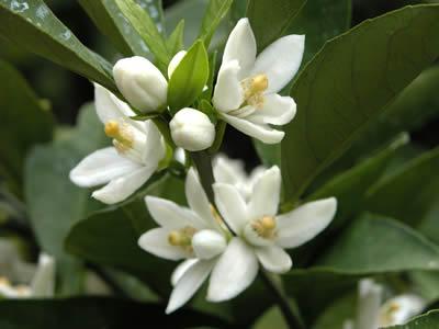栗山園の温州みかん興津早生の花