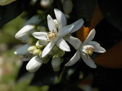 バレンシアオレンジの花