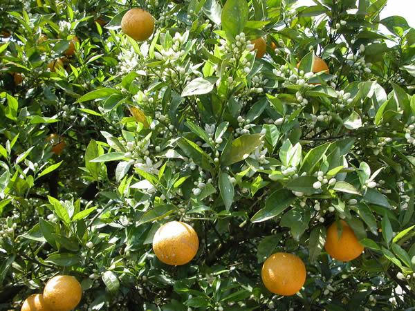 バレンシアオレンジの果実と花