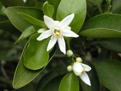 栗山園のセミノールオレンジの花