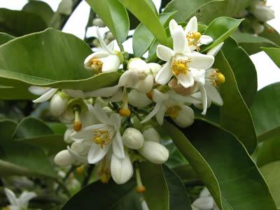 栗山園の田の浦オレンジ(新甘夏)の花