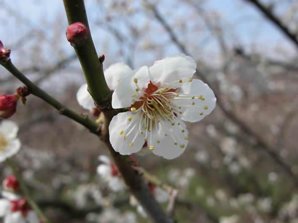かつらぎの梅 南高梅の花