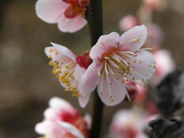 かつらぎの梅 鴬宿梅の花