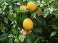 バレンシアオレンジの樹なり